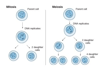 meiosis how does sexual reproduction lead to genetic variation-0