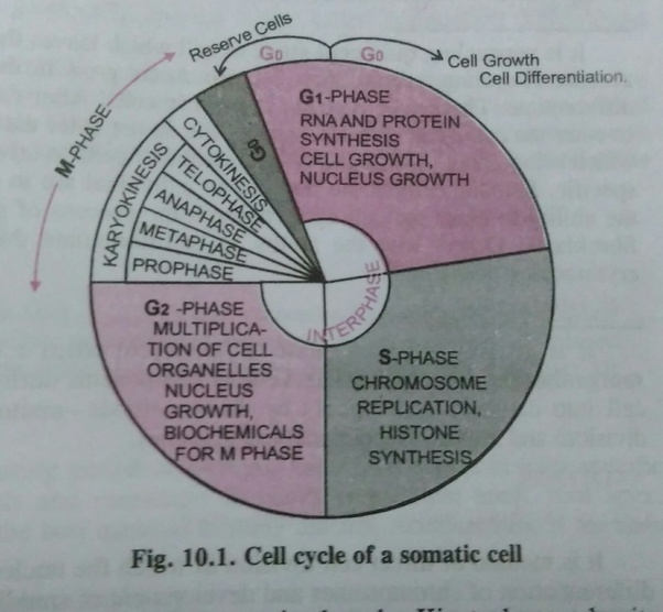 what is the longest stage of the cell cycle called-0