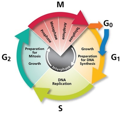 what is the longest stage of the cell cycle called-1