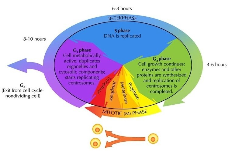 what is the longest stage of the cell cycle called-2