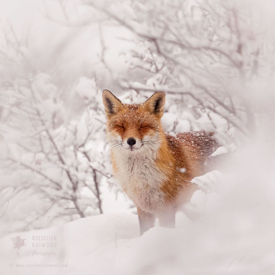 who is the artist of fox in the snow?-3
